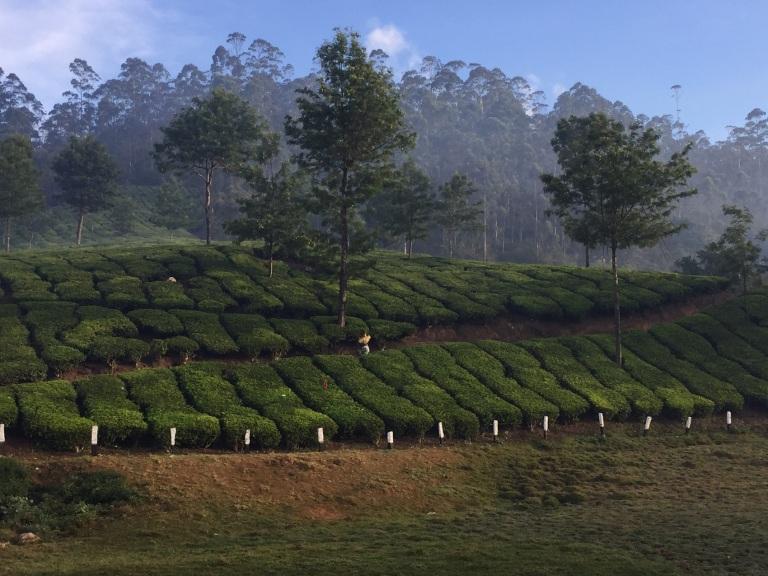 tea-plantation-munnar2